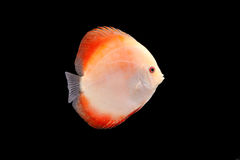 Discus Fish on Black Backgroung. Discus Fish fresh water aquarium on black background royalty free stock photos