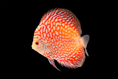 Discus Fish on Black Backgroung. Discus Fish fresh water aquarium on black background royalty free stock photo