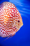 Discus fish , Checkorboard turquoise close-up body Stock Photography