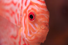 Discus fish closeup Royalty Free Stock Photos