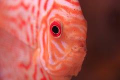 Discus fish closeup Royalty Free Stock Photos