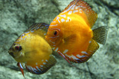 Discus fish. Colorful tropical discus fish in fish-tank royalty free stock images