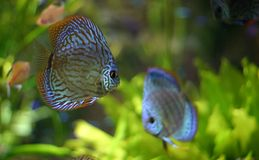 Discus fish family Royalty Free Stock Images