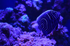Discus fish floats deeply at rocks and algae. Discus black and white fish floats deeply at rocks and algae. Horizontal photo, blue background Stock Photo