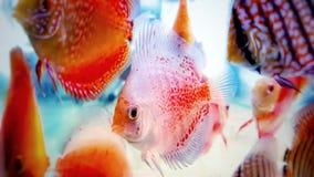 Discus fish in fresh water aquarium royalty free stock image