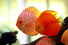 Discus fish in freshwater aquarium. Discus fish are the one of the most popular amazonian fishes in freshwater aquarium stock images
