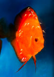 Discus fish with fry Royalty Free Stock Photography