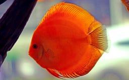 Discus fish in freshwater aquarium royalty free stock images