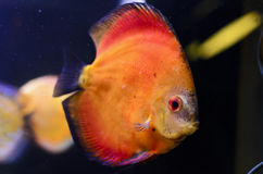 Discus fish, orange Symphysodon Discus. Royalty Free Stock Images