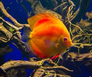 Discus fish Pompadour. Fishes in an aquarium Royalty Free Stock Photos