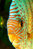 Discus fish portrait Stock Images