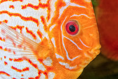 Discus fish portrait Stock Photography