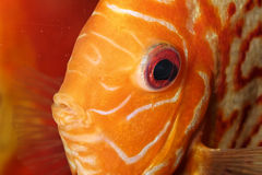 Discus fish portrait Royalty Free Stock Photos