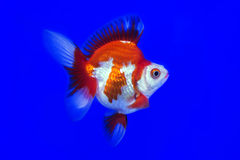 Discus fish red snake skin Stock Images