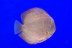 Discus fish red snake skin Stock Image