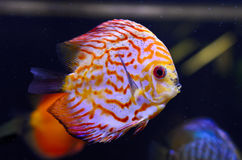 Discus fish, red Symphysodon Discus. Stock Images