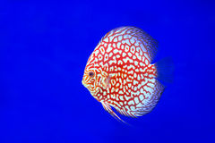 Discus Fish, snake skin Stock Images