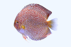 Discus fish snaks skin Royalty Free Stock Photos