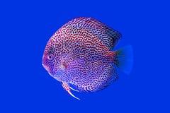 Discus fish snaks skin Stock Image