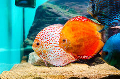 Discus fish. In a special tank royalty free stock photos