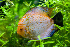 Discus fish swimming Royalty Free Stock Photos