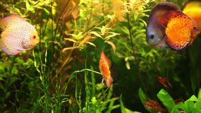 Discus fish swimming in aquarium. Amazon Discus fish Symphysodon aequifasciatus in aquarium stock video