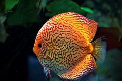 Discus fish swimming in an aquarium. In the zoo Stock Photo