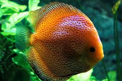Discus fish swimming in the Karlsurhe zoo. Germany Royalty Free Stock Photography