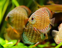 Discus fish swimming underwater Royalty Free Stock Image