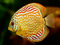 Discus fish (Symphysodon). Swimming underwater royalty free stock images