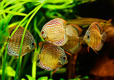 Discus fish (Symphysodon). Swimming underwater royalty free stock photos