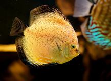 Discus fish (Symphysodon) Royalty Free Stock Image