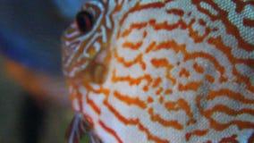 Discus fish. Symphysodon aequifasciatus in aquarium stock footage