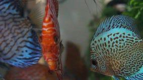 Discus fish. Symphysodon aequifasciatus in aquarium stock video footage