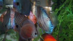 Discus fish. Symphysodon aequifasciatus in aquarium stock video