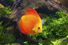 Discus fish ,Symphysodon aequifasciatus Royalty Free Stock Photos