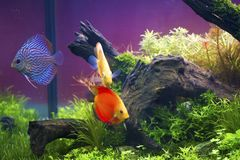 Discus fish ,Symphysodon aequifasciatus Stock Photography