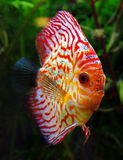 Discus fish Royalty Free Stock Photo