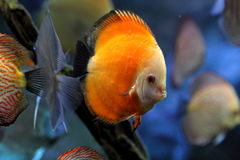 Discus fish or Symphysodon Stock Images