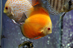 Discus fish or Symphysodon Royalty Free Stock Photos