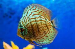 Discus Fish Stock Photography