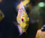 Discus fish, yellow Symphysodon Discus. Royalty Free Stock Photo