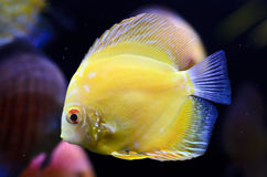Discus fish, yellow Symphysodon Discus. Royalty Free Stock Image