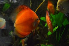 Discus Fish at Zoological Gardens, Dehiwala. Colombo, Sri Lanka. Discus is a fresh water fish and a popular among the pet fish lovers Stock Images