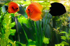 Discus fishes Royalty Free Stock Images