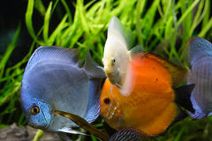 Discus fishes Stock Photo