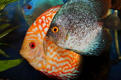 Discus fishes Royalty Free Stock Photography