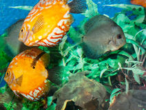 Discus Fishes in an Aquarium Stock Photography