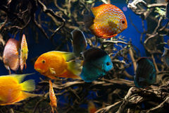Discus fishes. Colorful discus fishes swim in the aquarium royalty free stock images