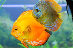 Discus pair Royalty Free Stock Photography